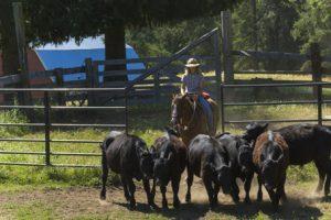 cowgirl riding a ranch horse pushing black cows through a gate