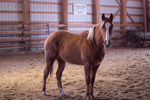 Fudsy Western Pleasure Guest Ranch Horses