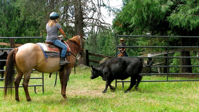 Youth penning cattle