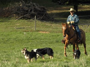 Roley riding a good ranch horse across a field with dogs following him
