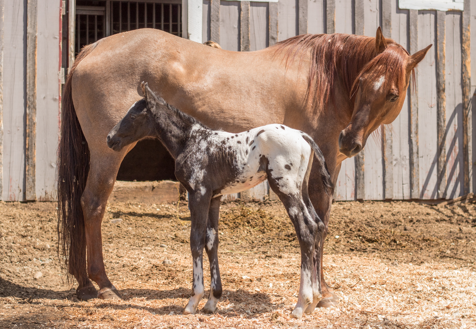 2017 Smart Little Sign Foal