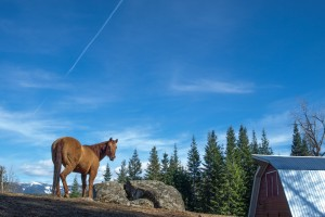 Western Pleasure Guest Ranch horse standing on a ridge above a barn with blue sky above