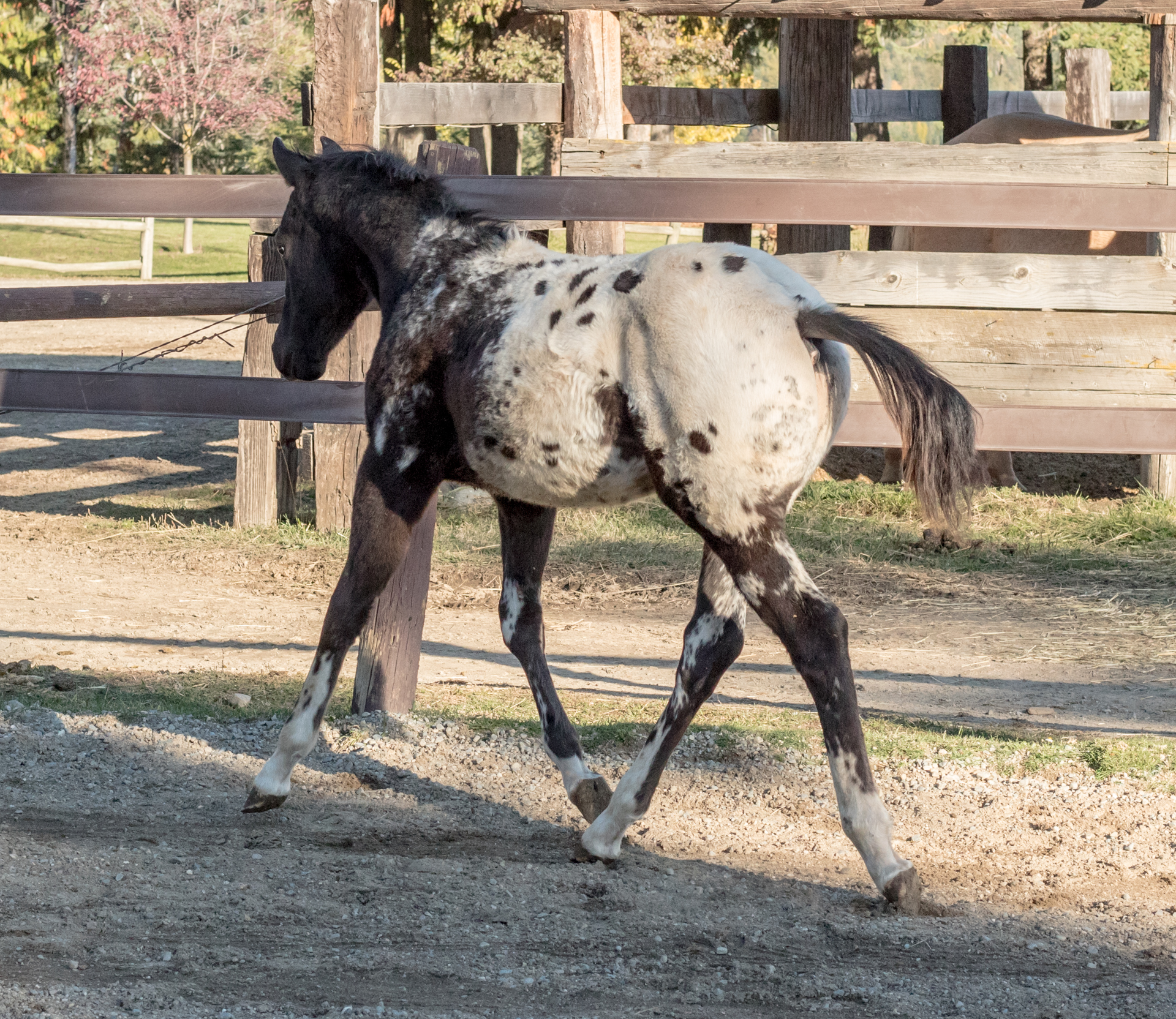 Ned black and white Appaloosa gelding