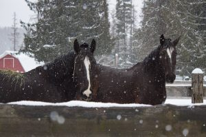 Molly and Dolly Shire cross black mares