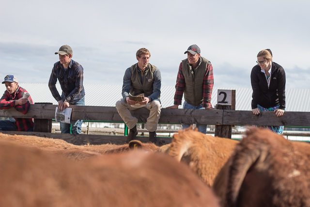 Buyers inspecting the bulls