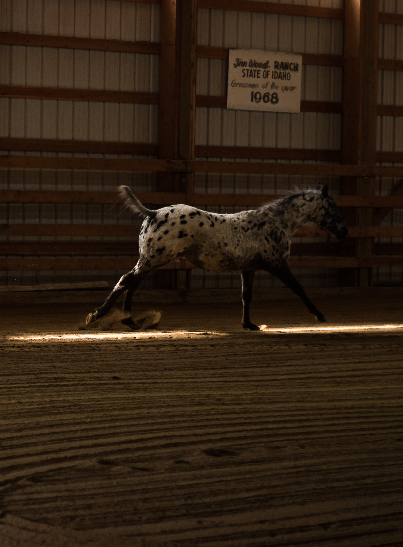 Appaloosa Colt The King of Hearts