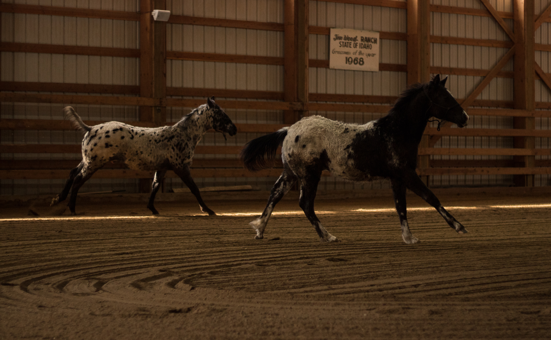 Appaloosa Colts at Western Pleasure Guest Ranch