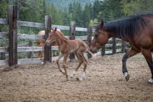 Appaloosa Sorrel Filly loping in front of her mother