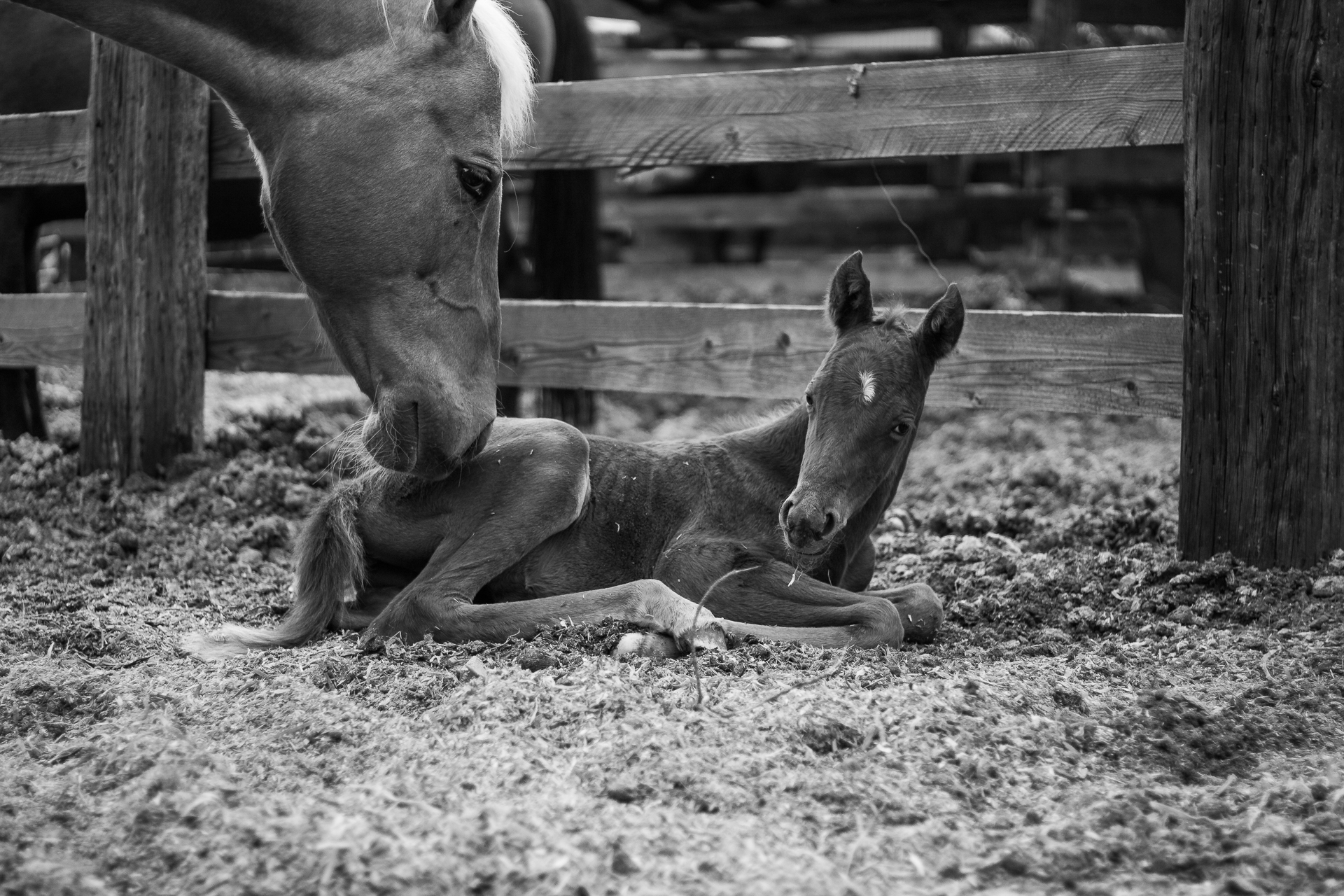 2018 Appaloosa Foals