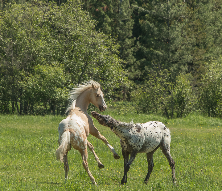 Pepper and Lucky playing on their summer pasture