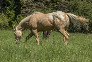 Lucky the ranch horse looking fabulous standing in the green grass