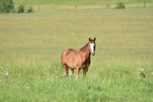Sorrel Quarter Horse Gelding with a large white blaze on his face standing in a green meadow