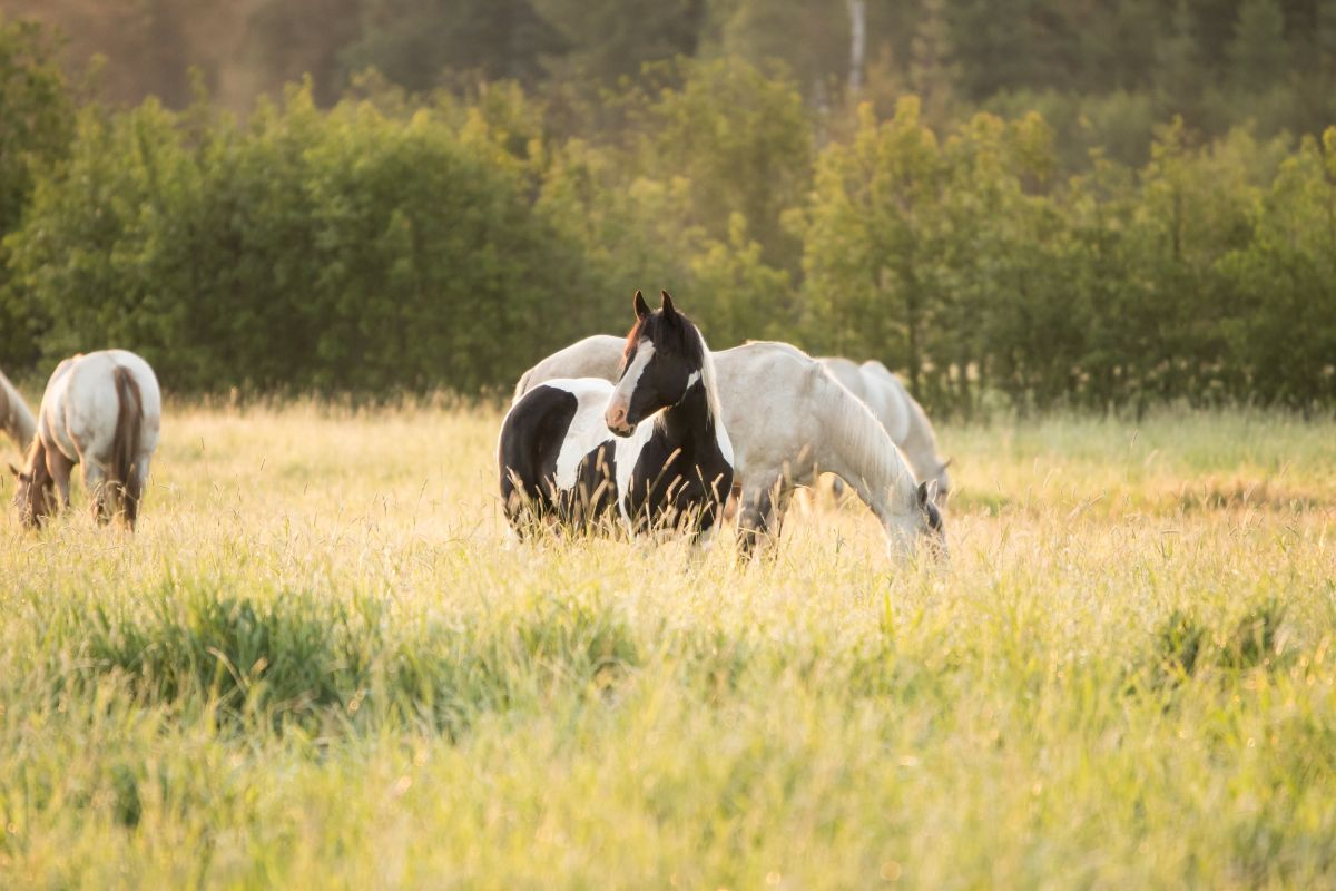 Horses in a meadow of tall green grass. A black and white paint looking up on the alert