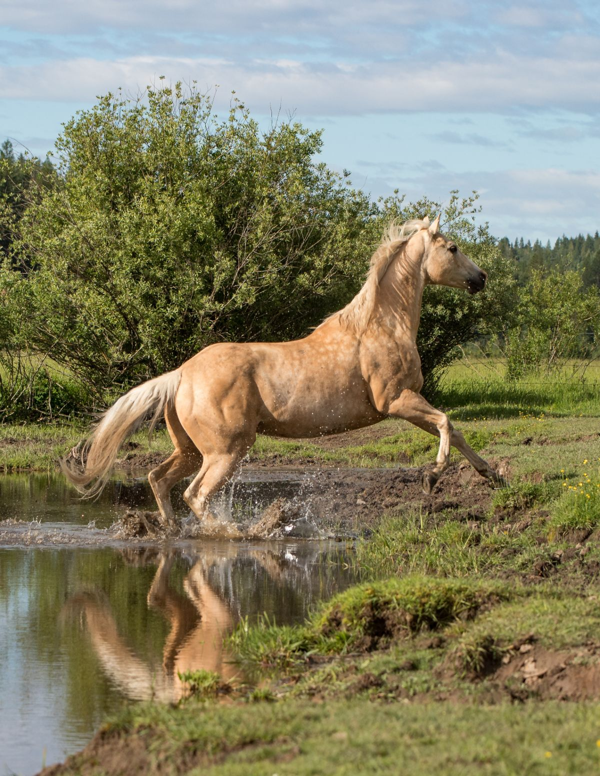 Palomino Quarter Horse Gelding jumping out of a creek onto a grassy bank
