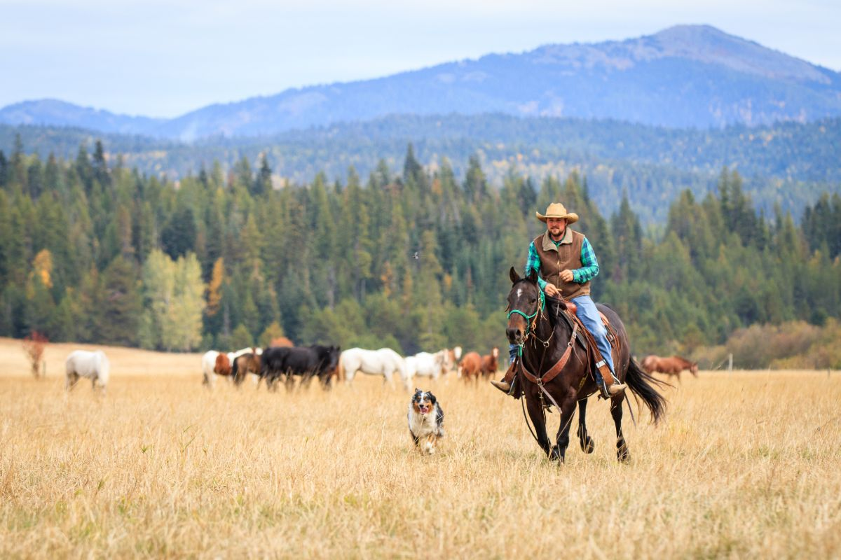 Cowboy loping a Bay Quarter Horse Gelding across a pasture with his dog next to him and horses grazing in the background