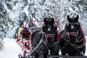 Red sleigh being pulled by two black Percheron draft horses through the snow covered forest on an Idaho sleigh ride