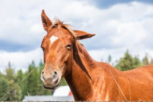 sorrel colored ranch horse with eyes closed, one ear pointed up and one ear pointed to the side in a goofy expression