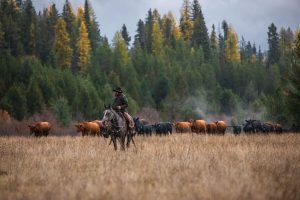 cowboy riding a horse in front of a herd of cattle with fall colors in the background
