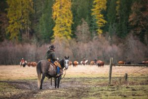 Cowboy on horseback standing in a gate with cattle and fall colors in the background