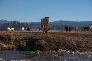 frozen stream in foreground tan ranch horse walking toward stream with horses on pasture in the background