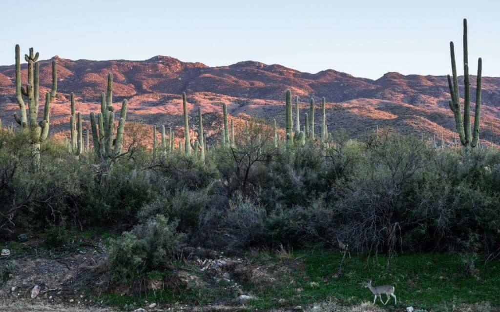 Saguaro National Forest at sunset with red mountains in the background, cactus in the middle ground and deer walking along a stream in the foreground