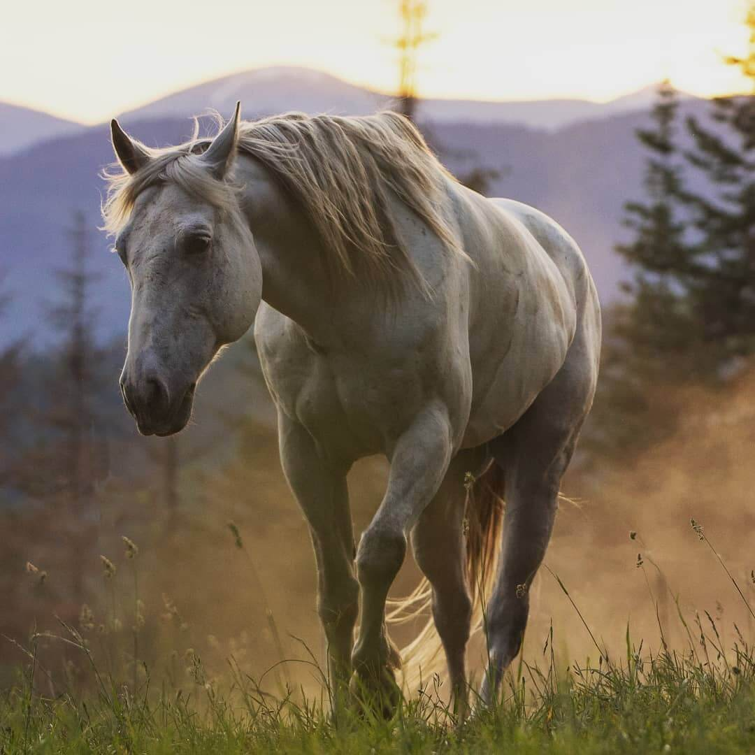 idaho dude ranch grey horse walking through the grass at sunset with dust blowing up